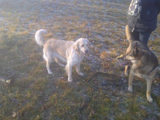 Aggressionsverhalten und Kommunikation bei Hunden an der Leine oder ohne mit Deutschem Schäferhund und Golden Retriever