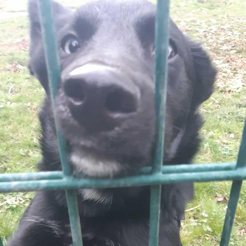 Hund mit schwarzem Fell und blauen Augen hinter einem Zaun im Tierheim der darauf hofft, gerettet zu werden und einen neuen Platz findet.