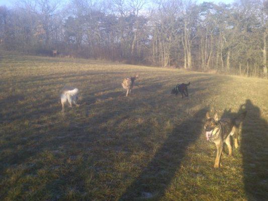 hunde die sich nicht kennen spielen gemeinsam und lernen sich kennen mit und ohne hundeleine sowie maulkorb in der natur