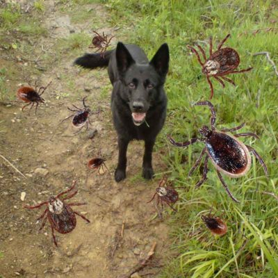 many ticks like an invasion in nature in maedow and woods are a health risk for dogs as they spread deseases which lead to illness