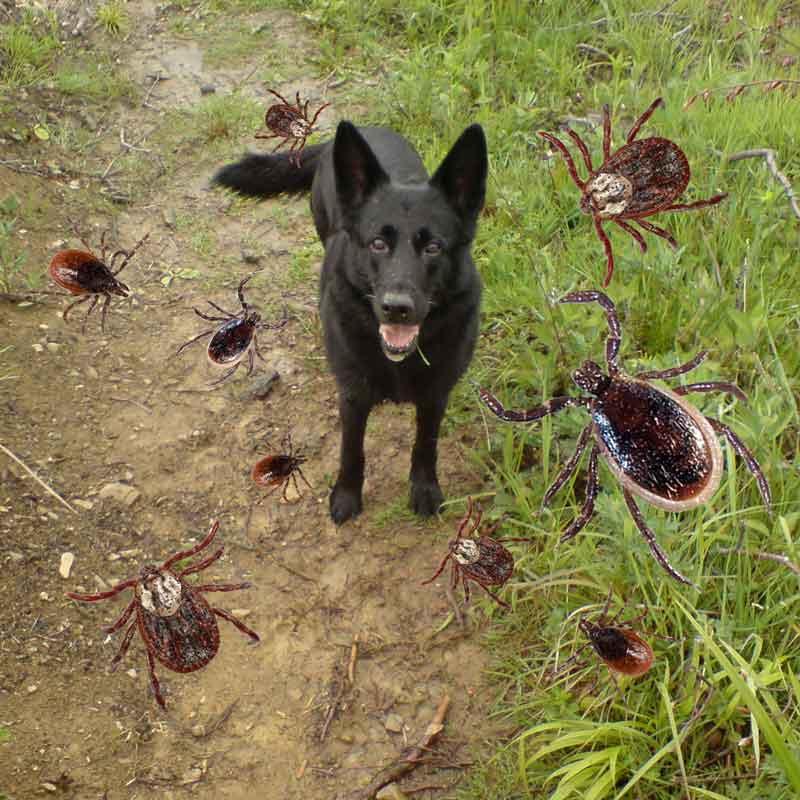 viele zecken wie bei einer invasion in der natur auf wiese und wald sind ein gesundheitsrisiko für hunde da sie krankheiten übertragen