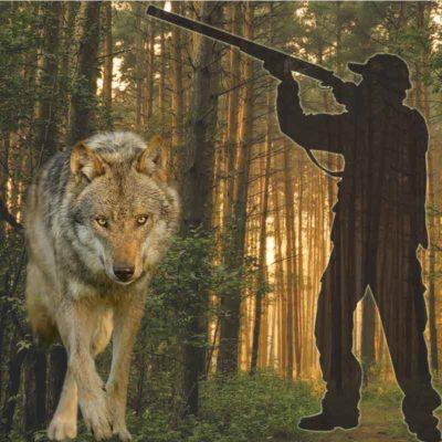 Soll der Wolf zum Abschuss durch Jäger freigeben werden weil er Schafe und andere Weidetiere reißt. Jäger und Wolf im Wald.